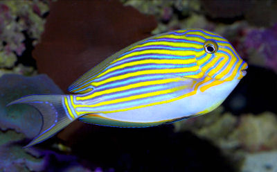 Acanthurus lineatus for Blue tang fish price