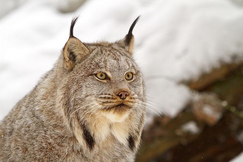 Sublimes félins en voie de disparition - Défense Animale