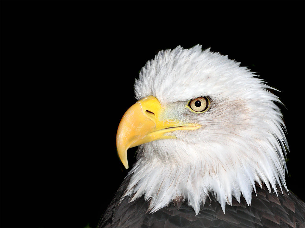 Bald Eagle Head Picture