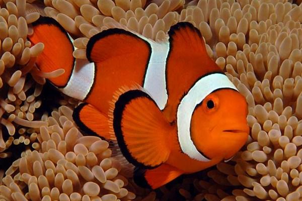 Anemonefish for Clown fish adaptations