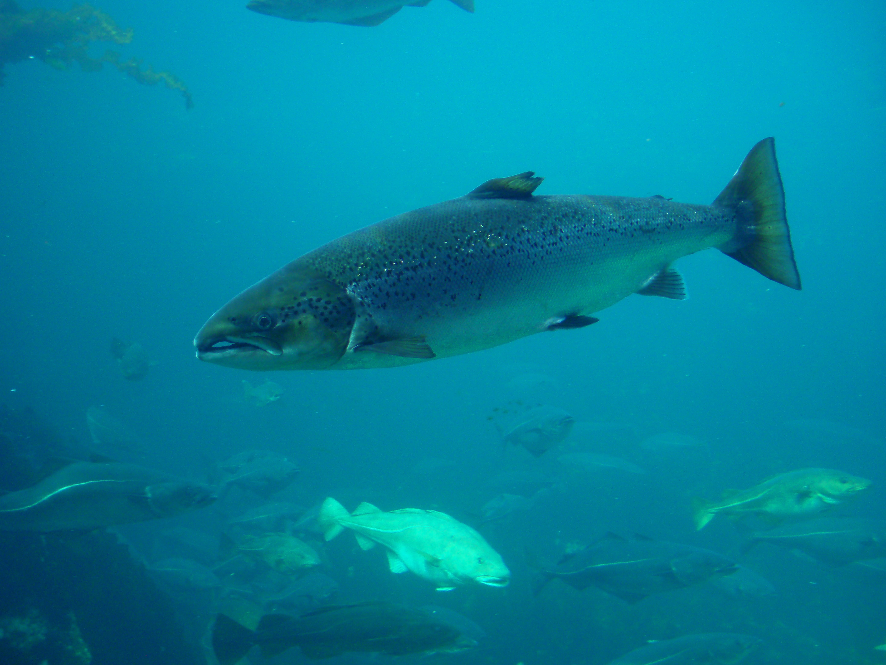 Atlantic salmon for Fishing at the sea