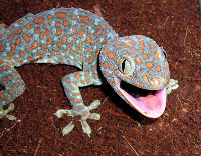 Tokay Gecko Facts Habitat Diet Pet Care And Pictures