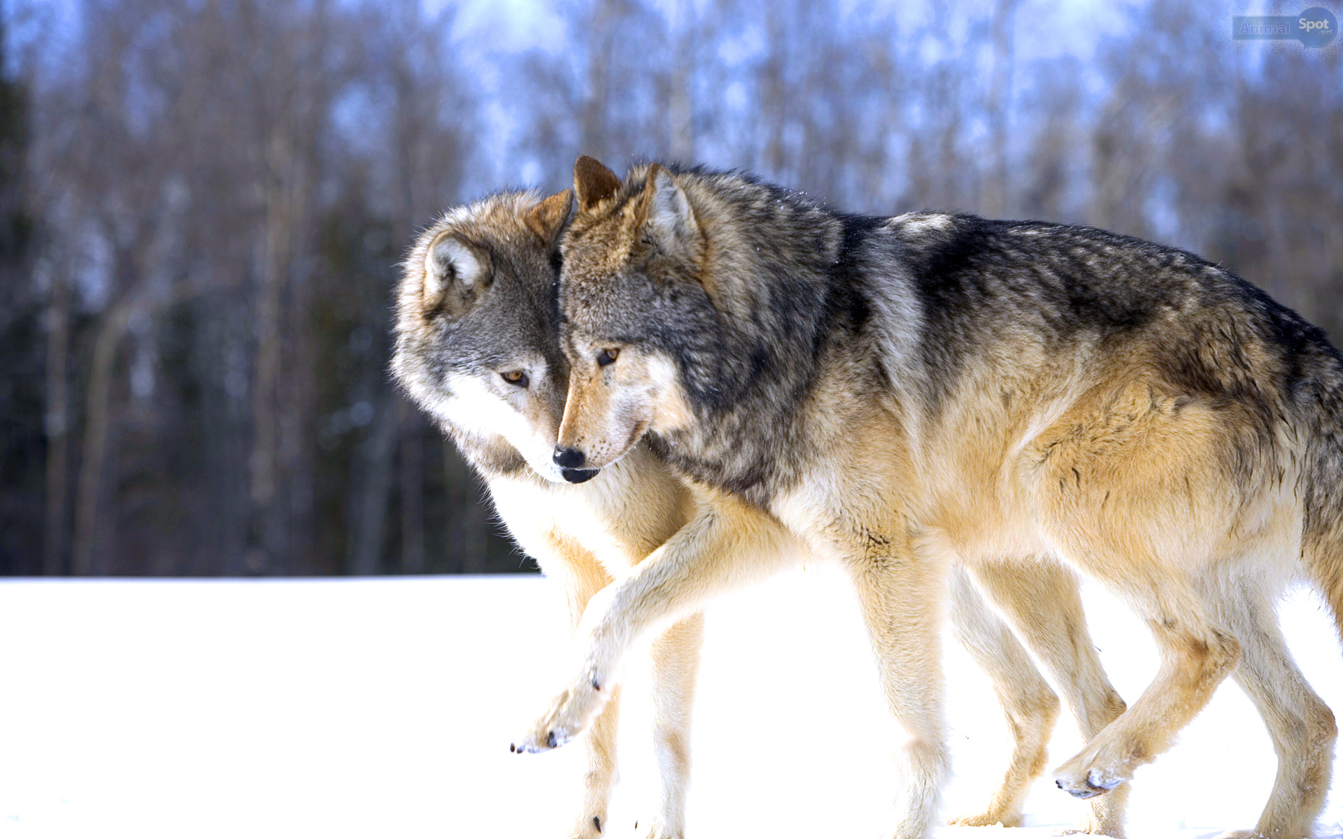 Wolf Wallpapers Animal Spot HD Wallpapers Download Free Images Wallpaper [1000image.com]
