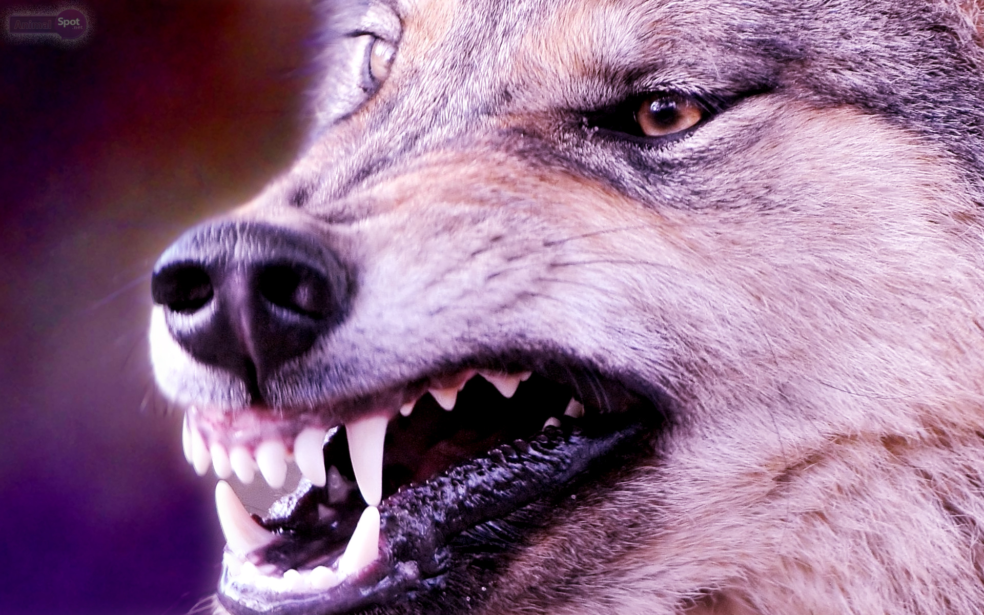 Wolf Wallpapers – Animal Spot