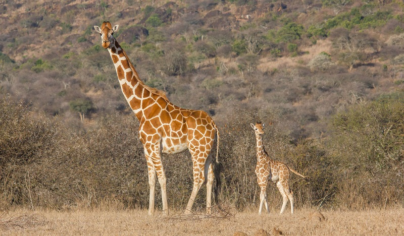 Reticulated Giraffe Facts, Habitat, Adaptations, Pictures